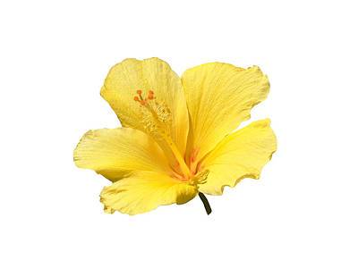 Photograph - Yellow Hibiscus Blossom by John Orsbun