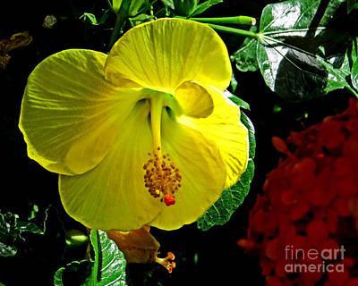 Photograph - Yellow Hibiscus by Dawn Gari