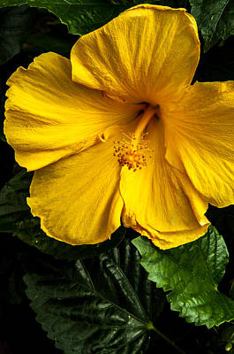 Photograph - Yellow Hibiscus by Gene Sherrill