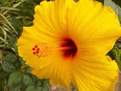 Photograph - Yellow Hibiscus by Georgia Hamlin