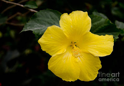 Photograph - Yellow Hibiscus by Laurel Best