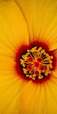 Photograph - Yellow Hibiscus Middle Of Triptych by TK Goforth