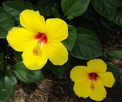 Photograph - Yellow Hibiscus by Paula Tohline Calhoun