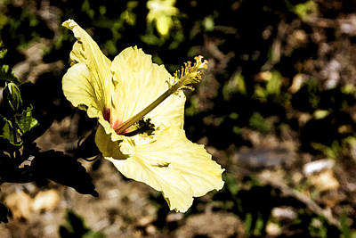 Digital Art - Yellow Hibiscus by Photographic Art by Russel Ray Photos