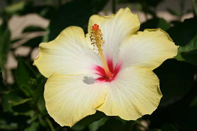 Photograph - Yellow Hibiscus With Garden Background  by Tracey Harrington-Simpson