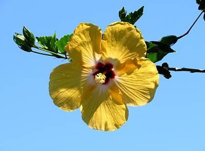 Horizontal Photograph - Yellow Hibiscus by Zina Stromberg