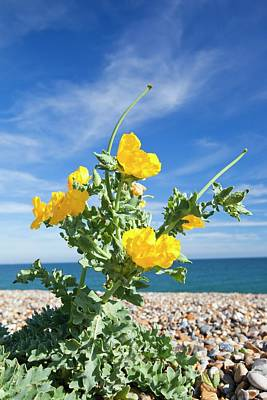 Adaptation Photograph - Yellow Horned Poppy (glaucium Flavum) by Ashley Cooper