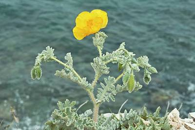 Yellow Horned Poppy (glaucium Flavum) Print by Bob Gibbons
