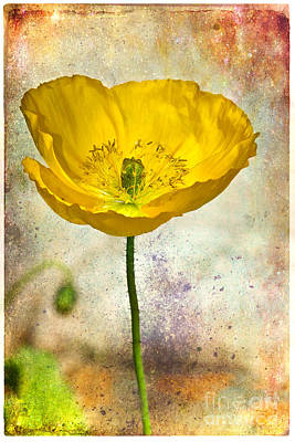 Yellow Icelandic Poppy And Texture Art Print