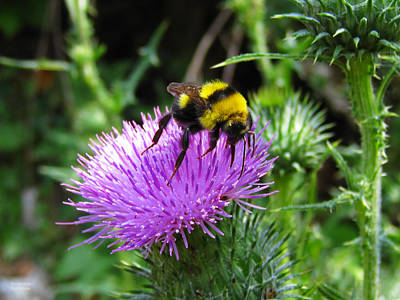 Photograph - Yellow Insect On A Thistle by Alexandros Daskalakis
