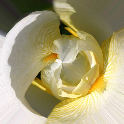 Photograph - Yellow Iris 103 by Jim Baker