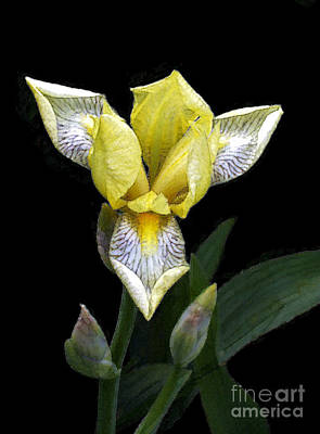 By Govan Photograph - Yellow Iris by Andrew Govan Dantzler