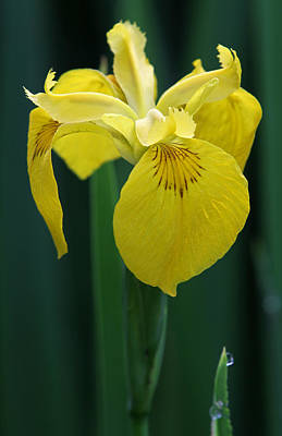 Photograph - Yellow Iris Floral by Juergen Roth