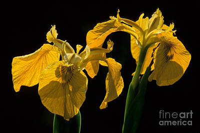 Photograph - Yellow Iris Flowers by Chris Scroggins