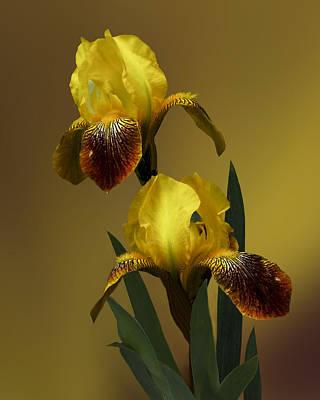 Yellow Iris Art Print by Judy  Johnson