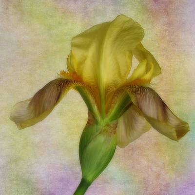 Photograph - Yellow Iris Number One by David and Carol Kelly