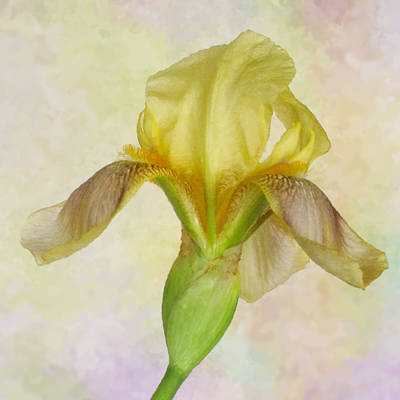 Photograph - Yellow Iris Number Two by David and Carol Kelly