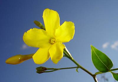 Photograph - Yellow Jasmine Flower And Bud Against Blue Sky by Tracey Harrington-Simpson