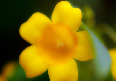 Photograph - Yellow Jasmine I by Stephen Anderson