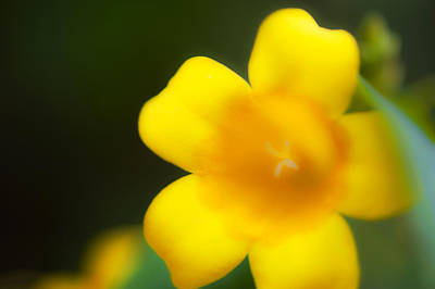 Photograph - Yellow Jasmine II by Stephen Anderson