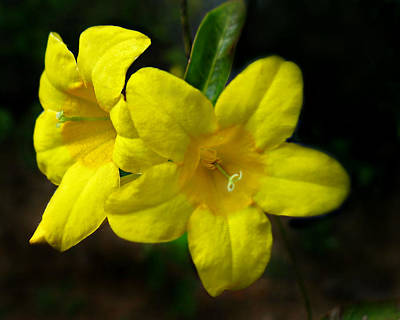 Photograph - Wild Yellow Jessamine  by William Tanneberger