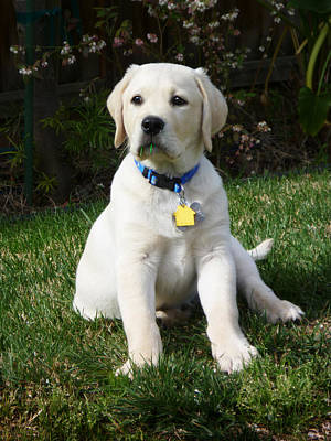 Tail Photograph - Yellow Lab Puppy Standing Guard  by Irina Sztukowski