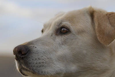 Photograph - Yellow Lab Watching by Jean Noren