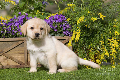 Photograph - Yellow Labrador Puppy by Jean-Michel Labat
