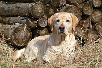 Photograph - Yellow Labrador Retriever Dog Lying In Front Of Wood Pile by Dog Photos