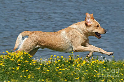 Photograph - Yellow Labrador Retriever Dog Running by Dog Photos