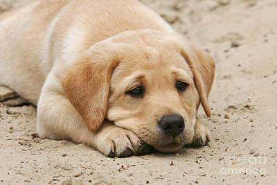 Photograph - Yellow Labrador Retriever Puppy Lying Head Down In Sand by Dog Photos