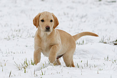 Photograph - Yellow Labrador Retriever Puppy Standing In Snow Raising Its Paw by Dog Photos