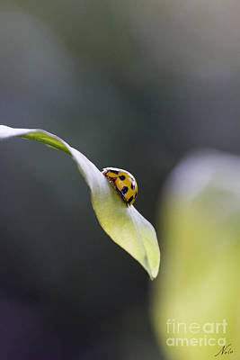 Photograph - Yellow Ladybug At Dawn by Nola Lee Kelsey