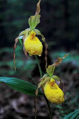 Photograph - Yellow Lady's Slipper Twin Flowers by John Burk
