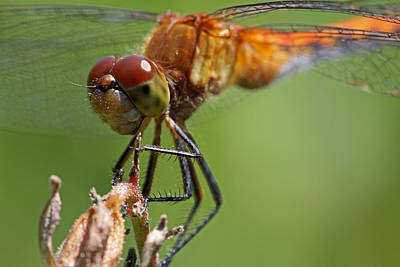 Photograph - Yellow-legged Meadowhawk Dragonfly by Juergen Roth