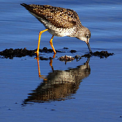 Photograph - Yellow Legged Sandpiper by Qing Yang