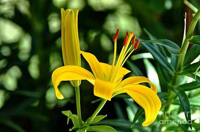 Photograph - Yellow Lilies by Phillip Garcia