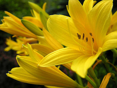 Photograph - Yellow Lilies by Robert Lozen