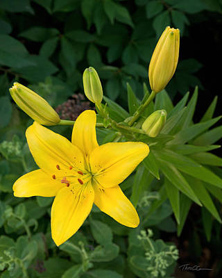 Photograph - Yellow Lilies by Theo OConnor