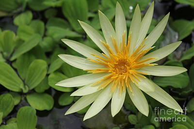Photograph - Yellow Lily  by David Grant