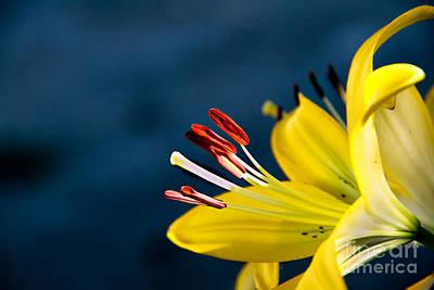 Yellow Lily Stamens Art Print