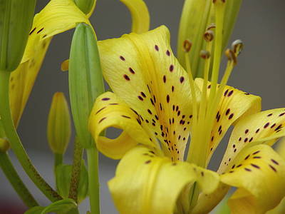 Valerie Paterson Wall Art - Photograph - Yellow Lily I by Valerie Paterson