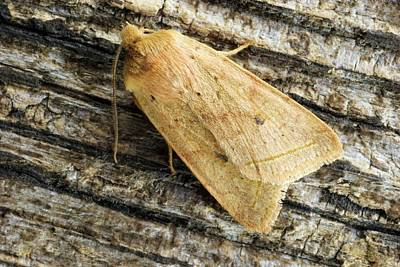 Quaker Photograph - Yellow Line Quaker Moth by David Aubrey