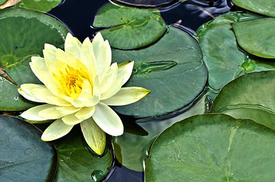 Waterlily Photograph - Yellow Lotus - Botanical Art By Sharon Cummings by Sharon Cummings