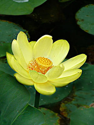 Yellow Lotus Art Print by William Tanneberger