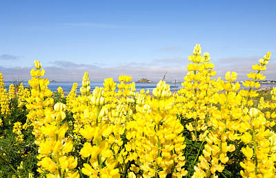 Yellow Lupines In A Field, Del Norte Art Print by Panoramic Images