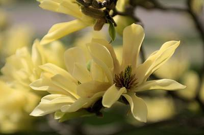 Photograph - Yellow Magnolia 2 by Douglas Pike