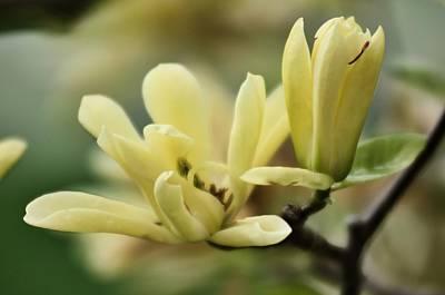 Photograph - Yellow Magnolia 3 by Douglas Pike