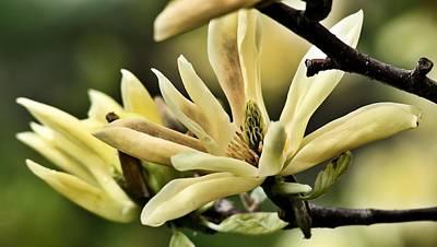 Photograph - Yellow Magnolia 4 by Douglas Pike