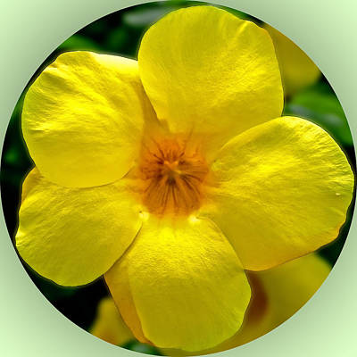 Photograph - Yellow Mandevilla Circle by Gene Norris
